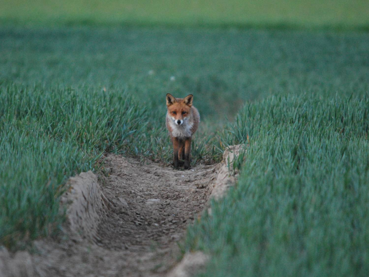 Fox out and about on the prowl