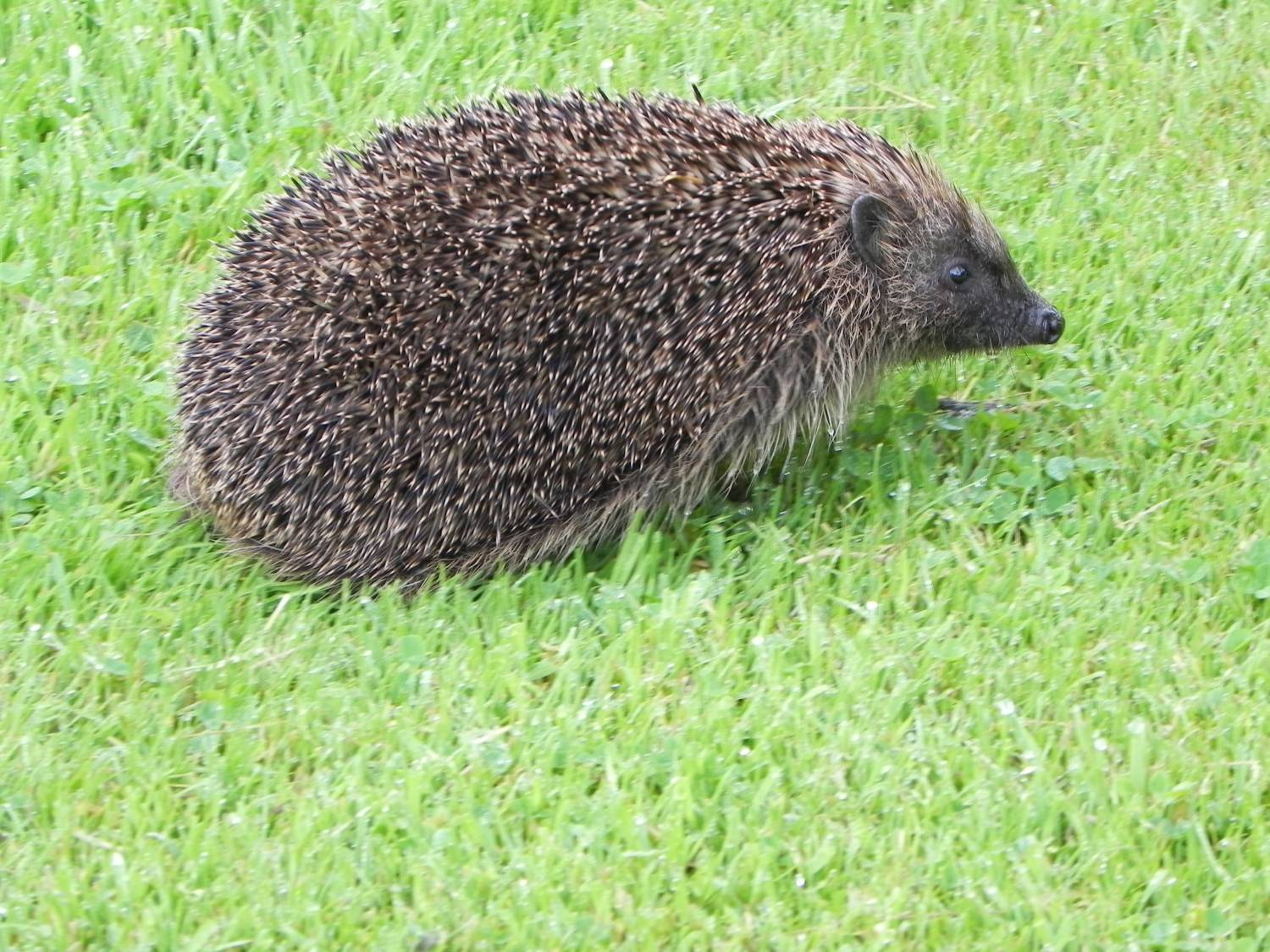 Hegdehog scurries across the lawn